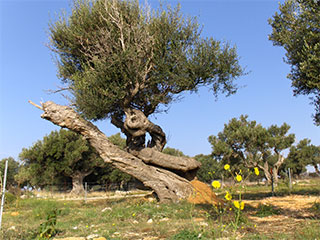 Olive groves of Lun